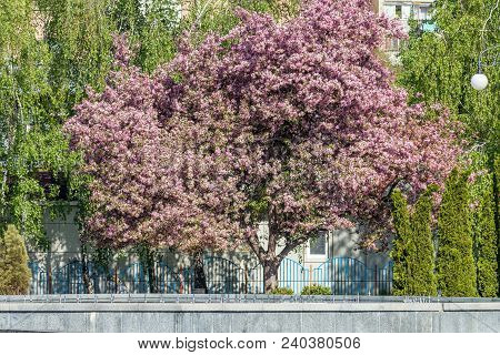 Pink Blossom Apple Tree Branch, During Spring Season On The City Street. Beautiful Nature Scene With