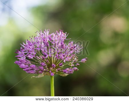 Beautiful Blossom Of Allium Cristophii ( Persian Onion Or Star Of Persia )