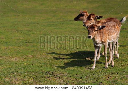 Full Body Of Three Fallow Deers (dama Dama) On The Meadow. Phtography Of Wildlife.