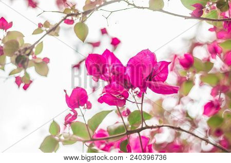 Bougainvillea bush growing on a wall in Italy poster