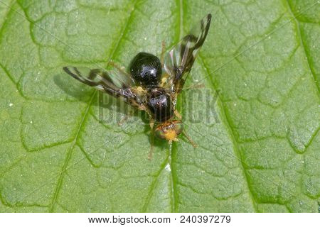 Celery Fly (euleia Heraclei). Small Picture-wing Fly In The Family Tephritidae, The Larvae Of Which