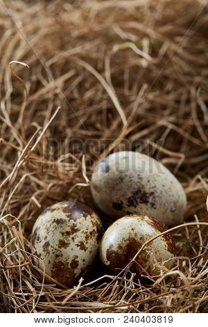 Conceptual Still-life With Fresh Raw Spotted Quail Eggs In Hay Nest, Close Up, Selective Focus. Deco
