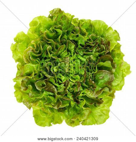 Young Batavia Red Lettuce From Above. Summer Or French Crisp. Loose Leaf Lettuce. Reddish Green Sala