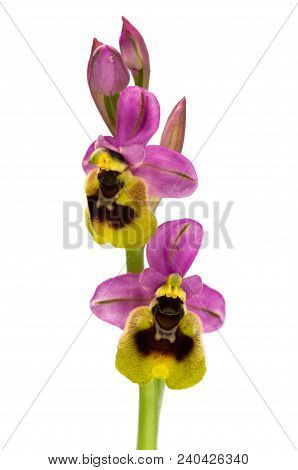 Two Bright And Coloured Flowers Of Wild Sawfly Orchid (ophrys Tenthredinifera Subsp. Ficalhoana) Iso