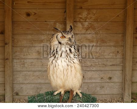Bengal Eagle Owl, also known as the Indian Eagle Owl or Rock eagle Owl. Bubo Bengalensis poster
