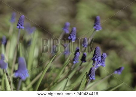Flowers Muscari Armeniacum. It Is One Of A Number Of Species And Genera Known As Grape Hyacinth, In