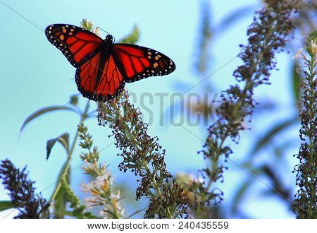 Monarch Butterfly Perched Outside On Plant In Daylight
