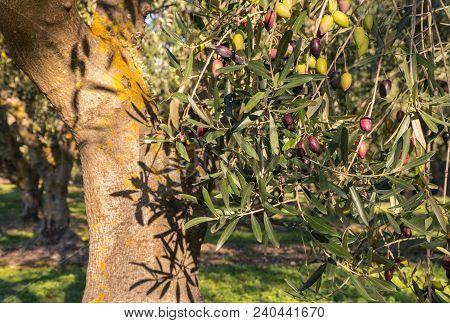 Sunlit Olive Tree With Ripening Kalamata Olives At Harvest Time