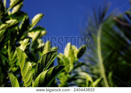 Sunny Tropical Greenery On Blue Sky Background. Tropical Plant With Green Leaves Closeup Photo. Bloo