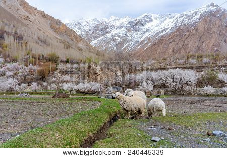 Sheep Grazing Grass In Countryside Landscape In Northern Rural Area In Pakistan, In Spring Season