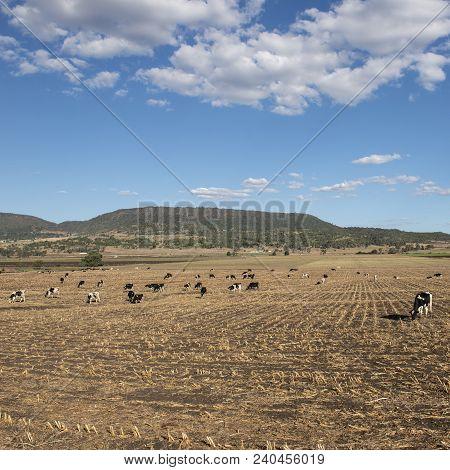 Australian Cows