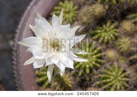 White Cactus Flower Closeup Under Morning Sun Light. Nature Background