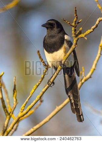 Eurasian Magpie Or Common Magpie (pica Pica) On Branch Lit By Setting Sun With Blue Sky In Backgroun
