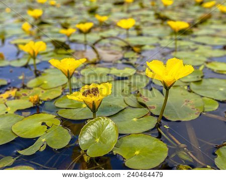 Dense Floating Fresh Water Vegetation Of Fringed Water-lily (nymphoides Peltata) With A Bee Eating F