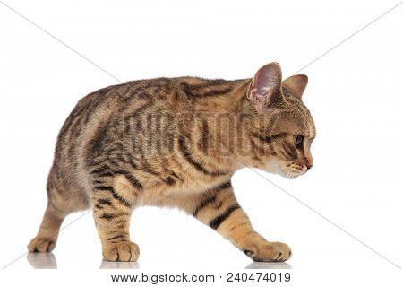 side view of adorable british fold looking down to side while standing on white background