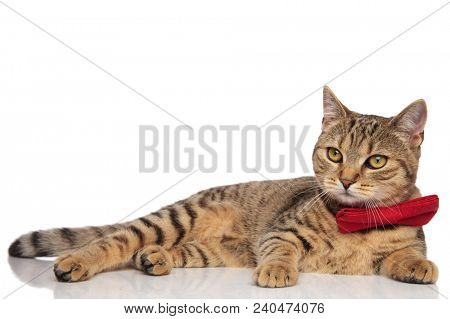 side view of classy tabby british fold wearing a red bowtie lying on white background and looking to side poster