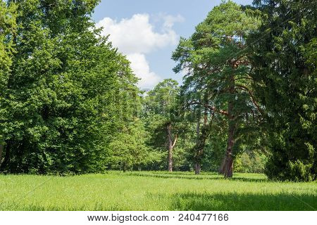 Glade Covered With Tall Grass Among Of The Conifers And Deciduous Trees In The Park In Summer Day