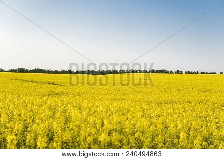 Endless Rapeseed Field. Rape Field. Yellow Rapeseed Fields And Blue Sky With Clouds In Sunny Weather