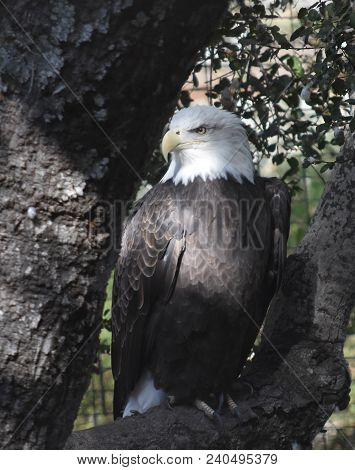 Iconic Symbolic American Bald Eagle Sitting On A Tree Branch.