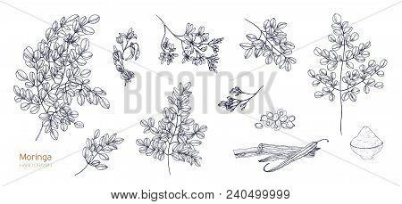 Set Of Detailed Botanical Drawings Of Moringa Oleifera Leaves, Flowers, Seeds, Fruits. Bundle Of Par