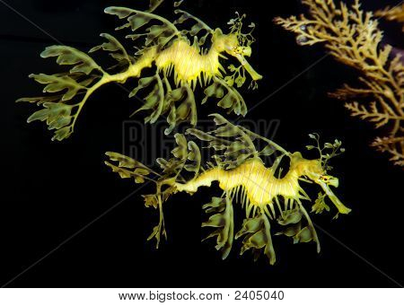 A magnificent pair of Australian Leafy Sea Dragons. Phycodurus Eques poster