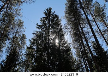 The Sun Shines In The Summer Forest Through A Canopy Of Tall Pine Treesthrough A Canopy Of Tall Pine