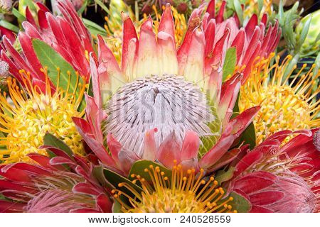 Bouquet Of Protea Flowers, Pincushion, Sugarbush.  Proteas Are Currently Cultivated In Over 20 Count