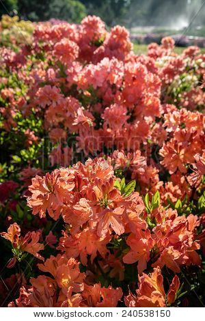 Rhododendron Plants In Bloom