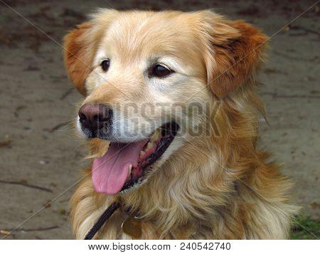 Beige Dog, Crossbreed Of Golden Retriever, Close-up Of Head, Cute Hound