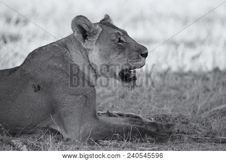 Close-up Of A Lioness Lying Down To Rest On The Soft Kalahari Sand In An Artistic Conversion