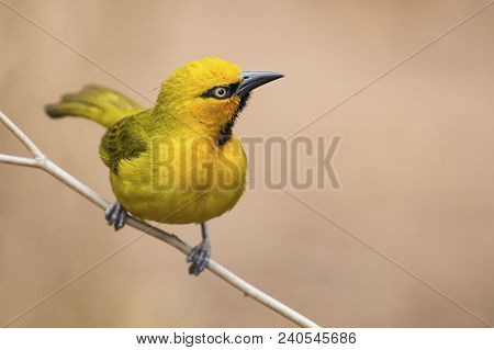 Spectacled Weaver Perch And Balance On A Thin Branch
