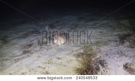 Hermit Crab Walks Along The Sea Sandy Bottom At Night Diving. Philippines, Mindoro.