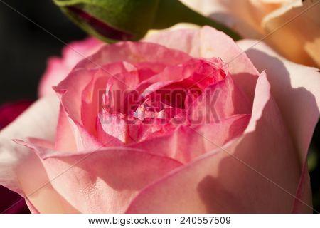 Pink Rose In Strict Close Up, Horizontal Image