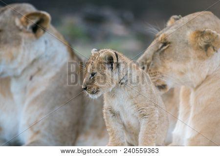 Cute African Lion Cub   In A Pride In The Grass In Masai Mara, Kenya