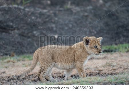Cute African Lion Cub Walking In The Grass In Masai Mara, Kenya