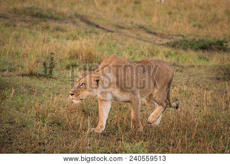 Female Lion On The Hunt In Masai Mara, Kenya.