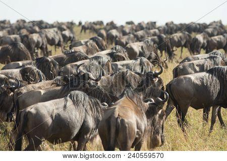Wildebeest In An Open Meadow In Masai Mara Game Reserve In Kenya.