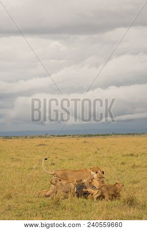 Lion Pride Feeding At A Kill On A Stormy Evening In Masai Mara Game Reserve, Kenya