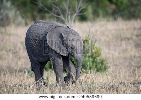Young Elephant Calf Standing In A Meadow In Masai Mara Game Reserve, Kenya