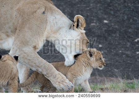 A Lioness Tries To Pick Up Its Cub In Masai Mara, Kenya