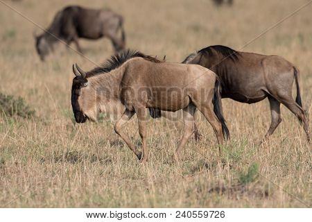 Wildebeest In A Savannah In Masai Mara Game Reserve, Keny