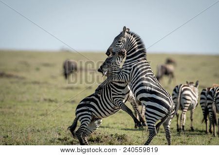 Two Plains Zebras Fighting In A Savannah In Masai Mara Game Reserve, Kenya