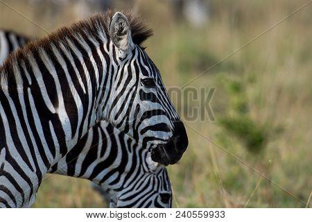 Plains Zebras In A Savannah In Masai Mara National Reserve, Kenya