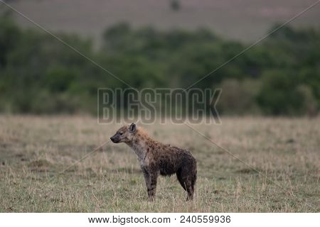A Spotted Hyena In A Savannah In Masai Mara Game Reserve, Kenya
