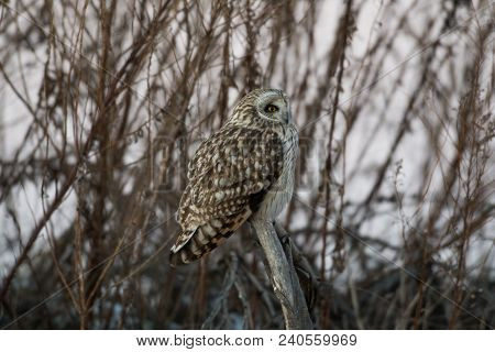 Portrait Of A Short Eared Owl Perched On A Branch In Late Evening In Winter