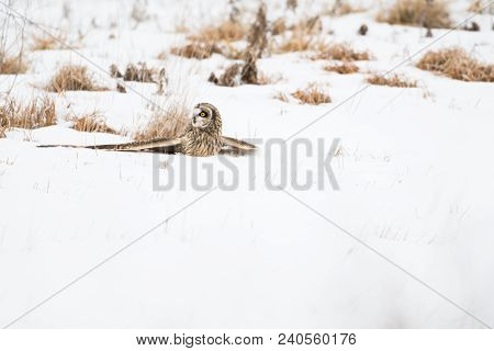 A Short-eared Owl On The Snow Covered Ground Grasping Its Prey In Indiana