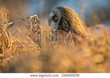A Short Eared Owl Is Hidden In The Weeds On The Ground At Sunset In Rural Indiana