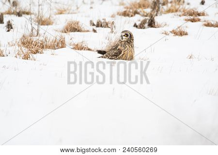 Short-eared Owl In The Snow