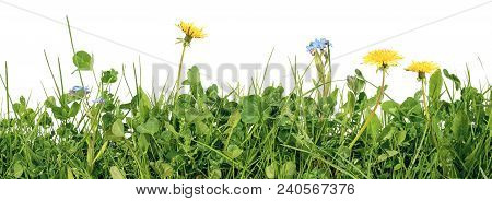 Meadow Grass With Grass Blades, Clover, Dandelion And Forget Me Not Flowers Isolated On White Backgr