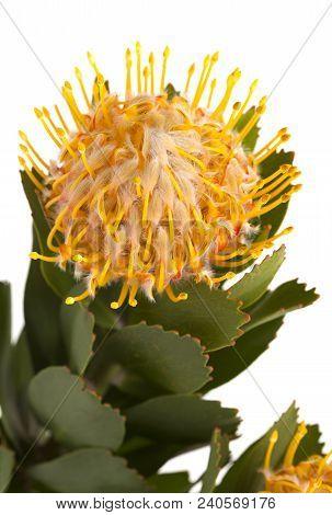 Yellow Protea Isolated